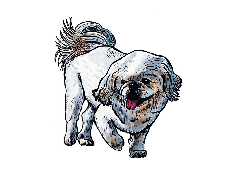 Pekingese drawing marker pekingese dog illustration