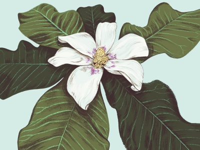 Ashe Magnolia tree plant native magnolia flower florida botanical illustration