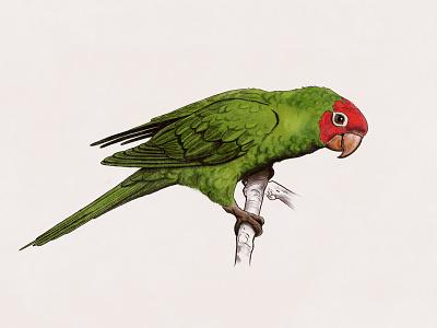Cherry Headed Conure digital vintage parrot ipadpro illustration conure