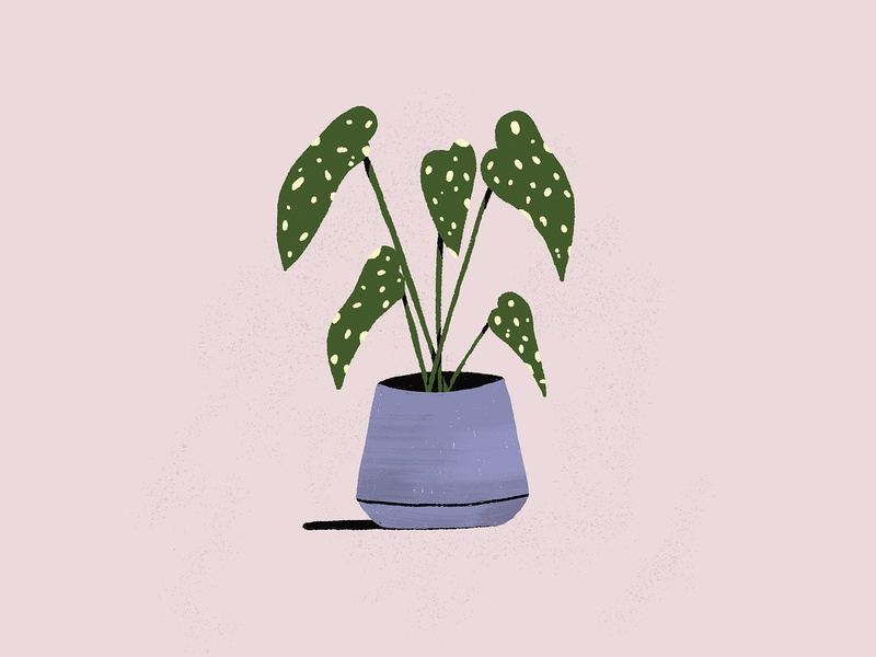 POLKA DOT PLANT plant dot polka