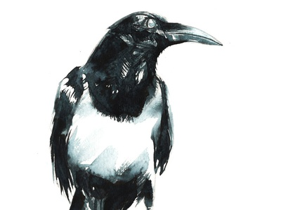 Pied Crow graphite drawing painting watercolour bird raven crow pied