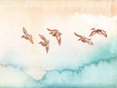 Blue-Winged Teals graphite painting drawing watercolour ducks teal teals winged blue