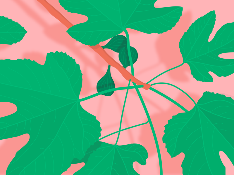 Fig tree - tree branch nature leaf green pink leaves fruit figs plant tropical summer bright illustration vector colour shadow illustrator sun light