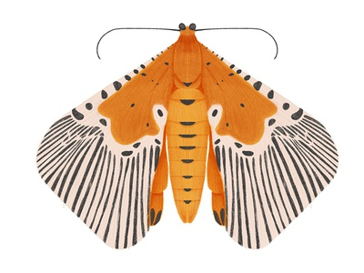 Peridrome Orbicularis digital art bug butterfly moth insect illustration