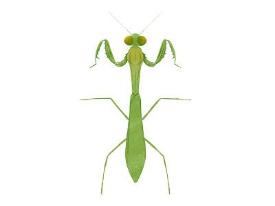 Mantis religiosa // Praying Mantis procreate moth insect illustration digital art ipad pro bug