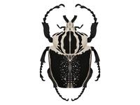 Goliathus regius | Royal Goliath Beetle