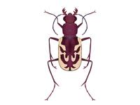 Cicindela lengi | Blowout Tiger Beetle