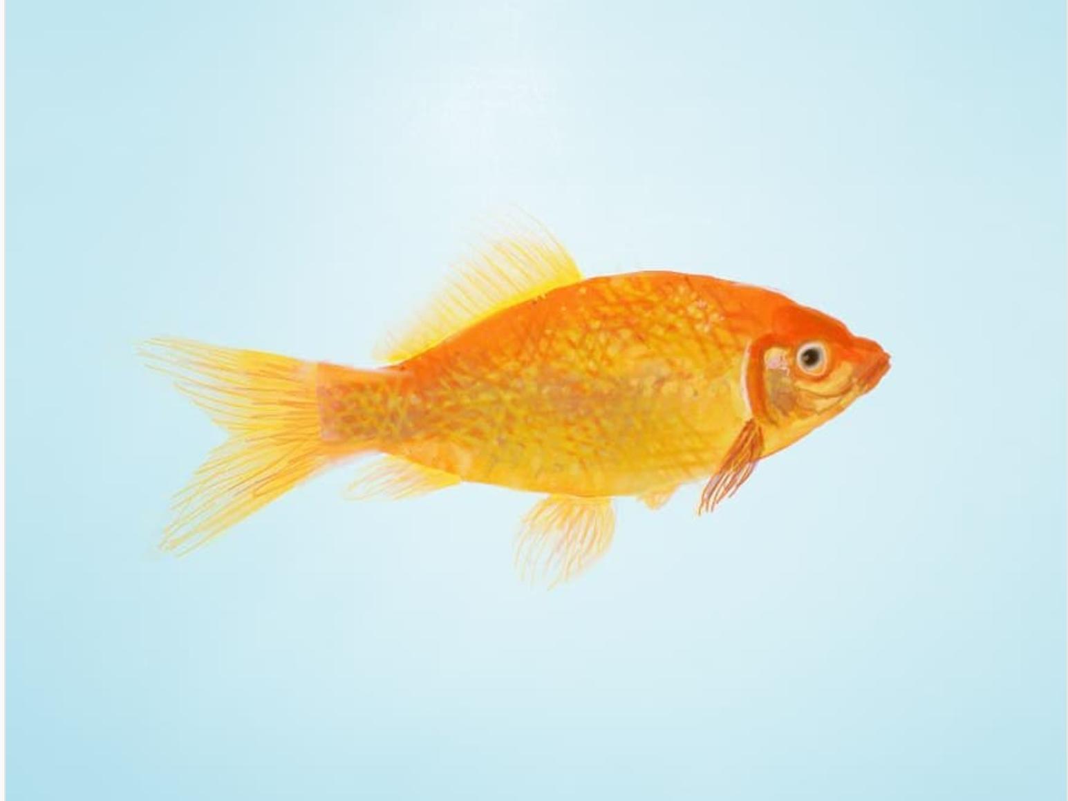 goldfish illustration goldfish autodesk sketchbook digital drawing digital illustration