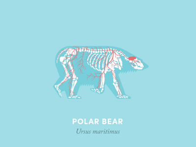 Anatomy of a polar bear anatomy animal illustration design diagram bear arctic anatomical diagram polar bear