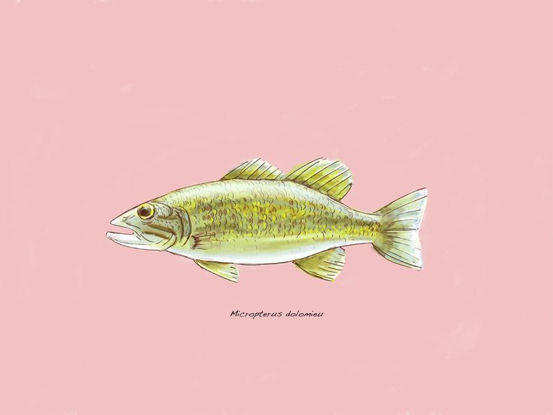 Bass Painting bass illustraion