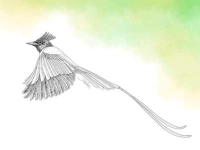 Flycatcher illustration