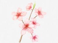 cherry blossom watercolor design