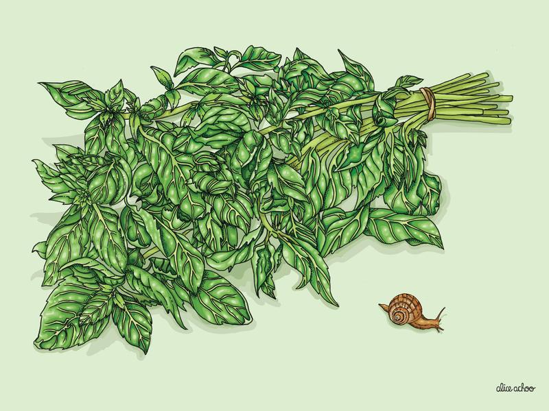Basil Dribble farming harvest garden recipe cooking kitchen vivid nature basil digitalart illustration digital colourful