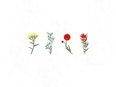 CENTRAL OREGON WILDFLOWERS blanket flower juniper yarrow indian paintbrush wildflowers flowers illustration