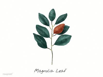 Magnolia Leaf magnolia illustration paint green leaf magnolia leaf