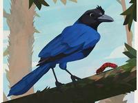 Birds — Azure Jay