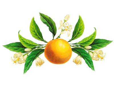 Orange Blossom Vintage Botanical Illustration By Wildcat Echo