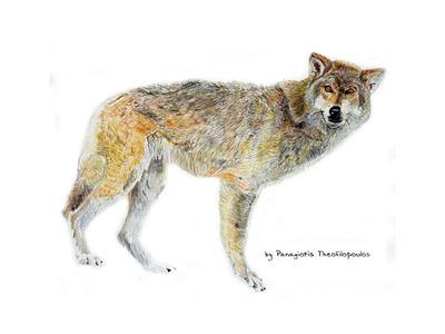 The Wolf illustration