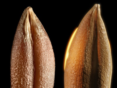 seed reference (Photo/from web/ left, 3D Right)