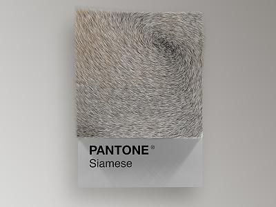 Cat Breeds as Pantone - Siamese visual render pantone palette design colors cinema4d cats cat art animals 3d
