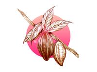 Cacao Bean Study