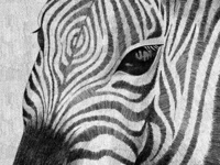 zebras the local