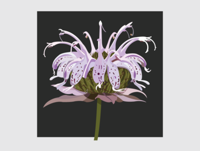 14 Bee Balm flower illustration flower illustrator flat design vector illustration