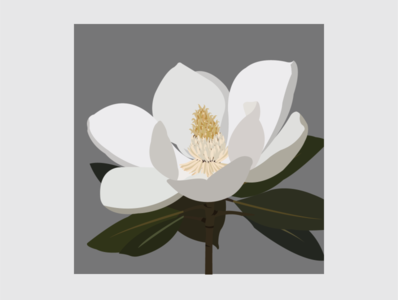 15 Southern Magnolia flower illustration flower illustrator flat design vector illustration