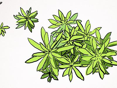 Sedum Repestre Angelina illustration flower green illustrator
