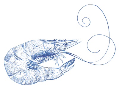 Prawn in pen and ink line art pen and ink food illustration sea creatures seafood prawn