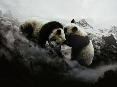 Battle of Panda