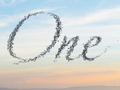 Murmuration of Birds Mock-up concept event video murmuration flight bird flock