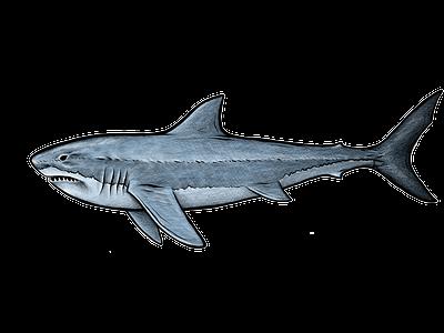 Shark illustration sharks sea life ocean predator drawing sea animals animal illustration shark