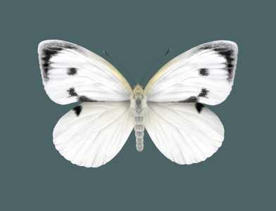 Cabbage White Butterfly butterfly procreate app procreate technical drawing art technical illustration science illustration science nature illustration entomology