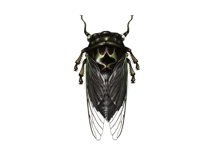 Cicada insect cicada art science procreate procreate app entomology technical drawing science illustration technical illustration nature illustration
