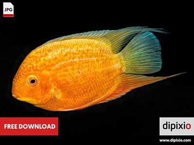 Cichlid fish (Heros sp.) photo free freebie