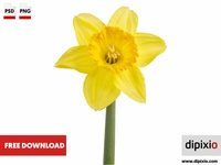 Yellow daffodil (Narcissus)