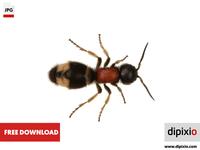 Parasitoid wasp (Mutilla europaea)