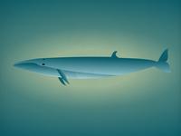 Endangered 11 Sei Whale