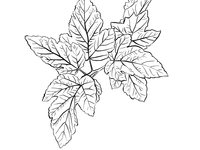 Leaf illustration ready for colouring