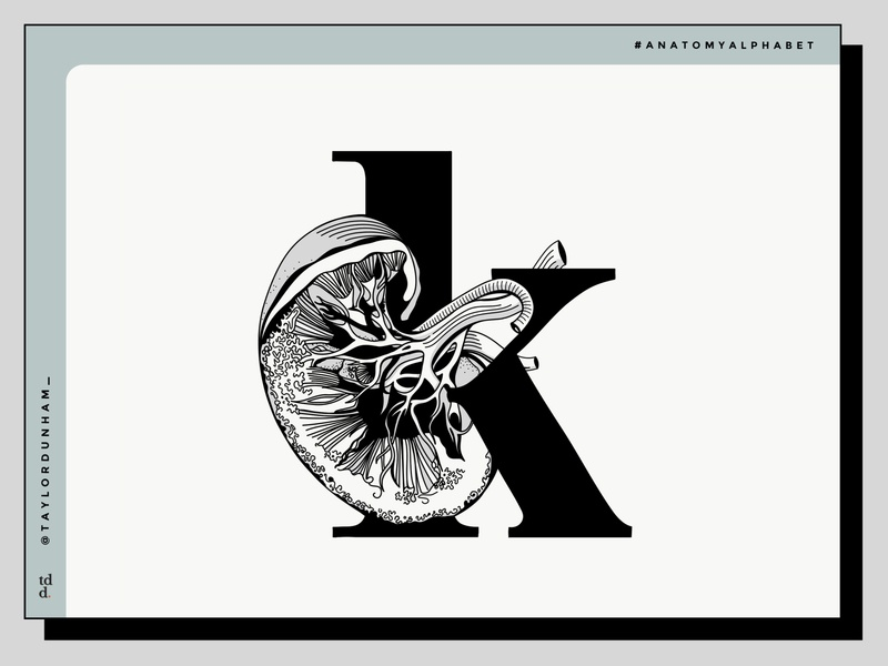 An anatomy alphabet: K is for kidney. typography vector illustration design illustration design illustration anatomy anatomy alphabet lettering 36 days of type