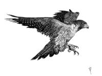 Peregrine Falcon Illustration