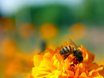 Honey Bee Image picture photography photo freebies free image image honeybee honey stock photos free stock footage free vector graphic design graphic out