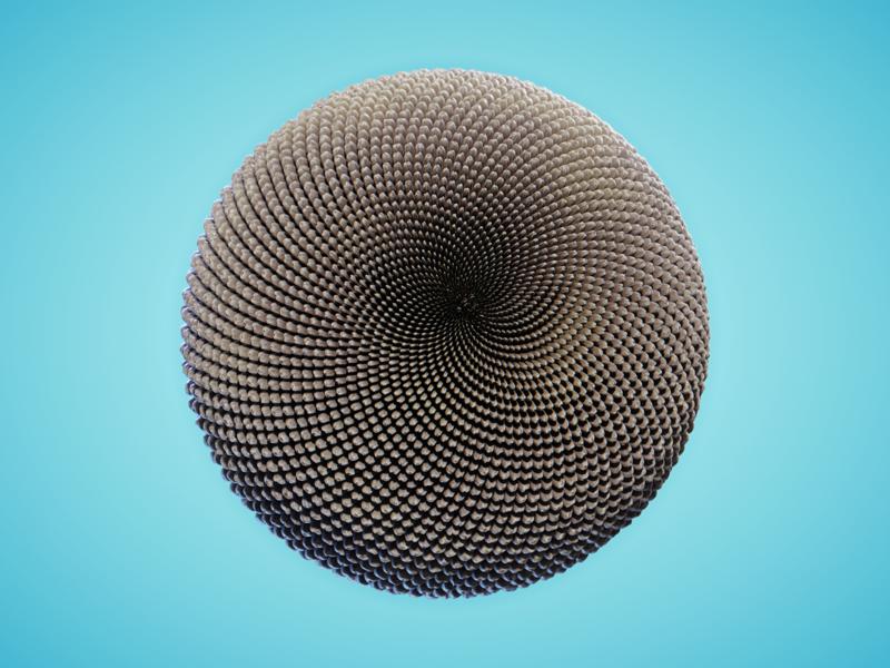 FLOWER - #nodevember 10 seed sunflowers sunflower seeds flower nodevember render procedural organic simulation cgi 3d animation blender