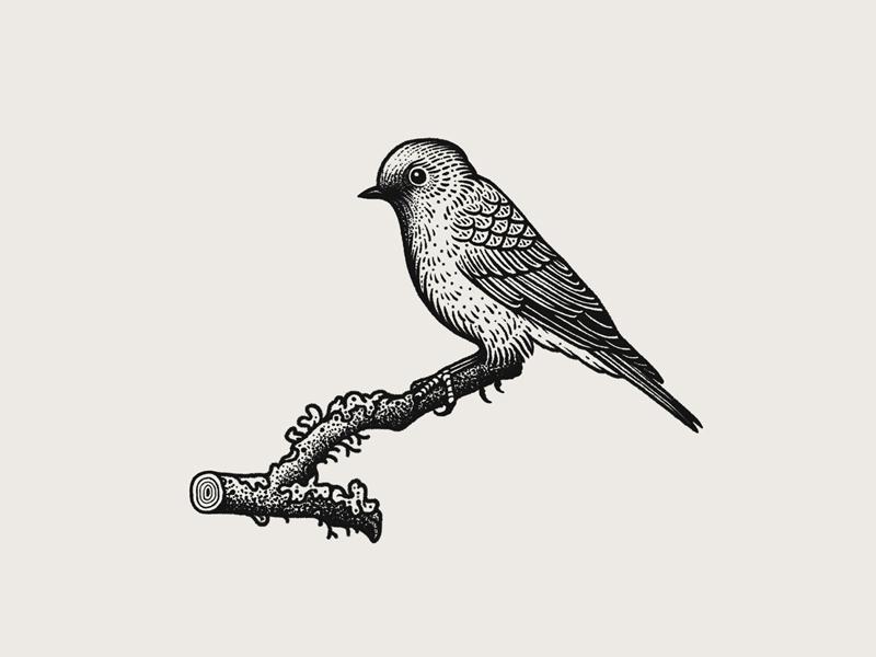 Western Bluebird By Jared Tuttle On Dribbble