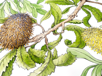 The Banksia Leaves in the Raven Story