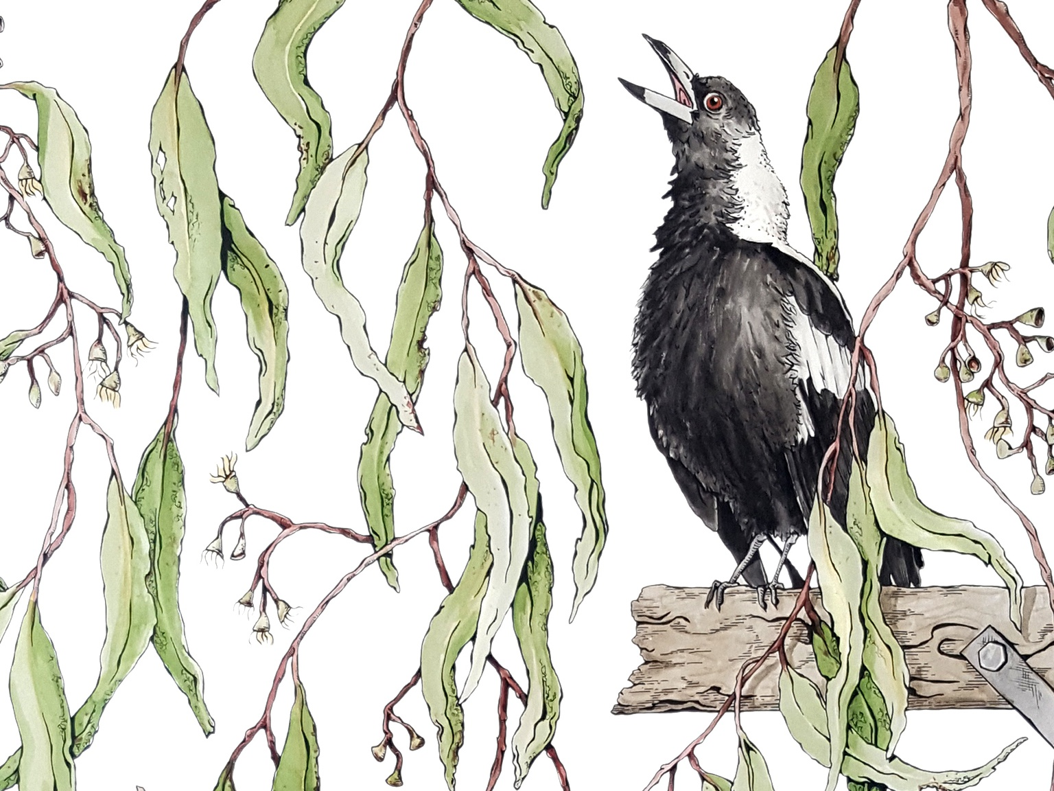 The Morning Report morning magpie botanical illustration nature illustration fine art artwork plant tree wildlife bird nature drawing illustrator watercolor gouache australia illustration
