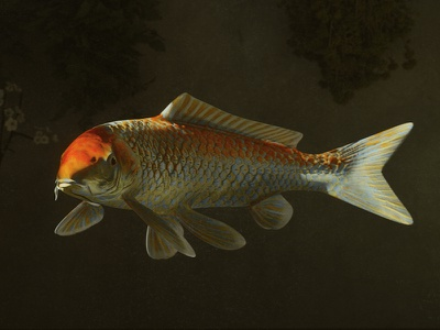 Koi Fish water ocean fish lighting interior heinz still life rendering realistic octane c4d 3d artist koi fish