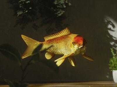 Koi Fish ocean water interior fish koi fish still life rendering realistic c4d octane 3d artist