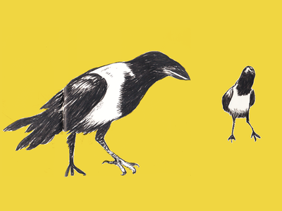 Pied Crows